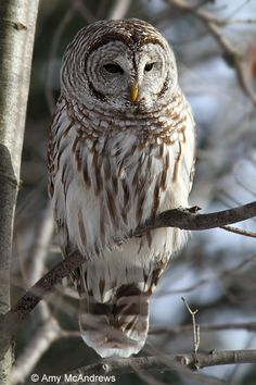 Barred owl (Strix varia) by Amy McAndrews