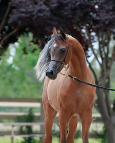 Conquest BR :: Arabian horses of Aria International - Arabian horses, stallions, mares, colts, fillies, for sale