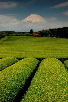 Amazing beautiful tea plantation. with Fuji-san at the background