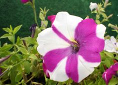Petunia. Have had these on my balcony and in my garden since my student appartement.