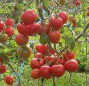 Runåbergs fröer - Högväxande Tomat STUPICE