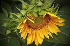 sunflower flowers