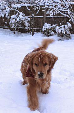 Golden Retriever Clyde loves the snow
