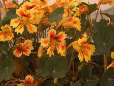 Tropaeolum 'Fruit Salad' took the third position of the 2013 RHS Chelsea Plant of the Year contest Tropaeolum (Nasturtium) 'Fruit Salad'