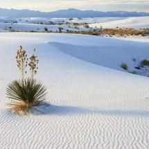 Yucca and Dunes white sands n.m.