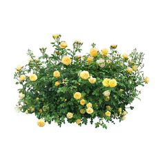 Search results for nature PNG. Here's a great list of nature transparent PNG images. Yellow Roses, Red Flowers, Spring Flowers, Landscape Sketch, Landscape Architecture, Tree Psd, Bush Plant, Plant Images, Flower Branch
