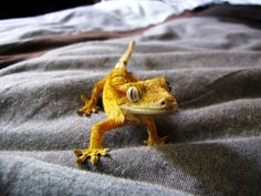 How could lizards be cute? Most people don't like all the reptiles, mostly because the reptiles for them are, first of all, the dreaded alligators and snakes. But the reptiles as a biological… Guinea Pig Toys, Guinea Pig Care, Les Reptiles, Reptiles And Amphibians, Reptile Room, Reptile Cage, Reptile Enclosure, Terrarium Reptile, Cute Gecko