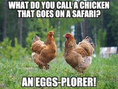 Foxydoor is a unmitigated memes platform for uploading and sharing as you wish, and also can create an account to get veritable features Funny Chicken Memes, Chicken Humor, Crop Insurance, Animals, Animaux, Animal, Animales, Animais
