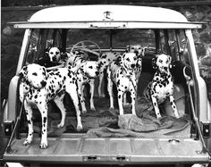 5 Ways of Looking At A Dalmatian -- AKC Gazette