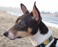 The Toy Fox Terrier is a little terrier breed of dog, straight descended from the larger Fox Terrier but deemed a separate breed.