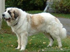 Listado de Razas de Perros y Gatos. Todos los tipos...: Raza de Perro Mastín del Pirineo (Pyrenean Mastiff...
