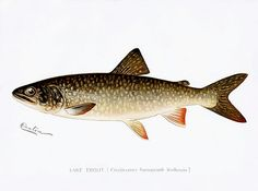 Lake Trout (Cristivomer Namaycush) illustrated by Sherman F. Denton from Game Birds and Fishes of North America. Digitally enhanced from our own 1913 Portfolio Edition of the book. Canvas Art, Canvas Prints, Art Prints, Big Canvas, Fish Drawings, Sea Fishing, Fishing Trips, Fish Print, Vintage Fishing