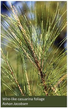 Casuarina forest - Department of Agriculture Forest Department, Australian Garden, Water Resources, Forests, Agriculture, Herbs, Plants, Woodland Forest, Herb