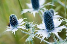 With its luminous spiny collar of silvery-white bracts surrounding an egg-shaped flowerhead and tightly packed with flowers, initially pale green then changing to steel-blue, Eryngium Giganteum is quite a catch
