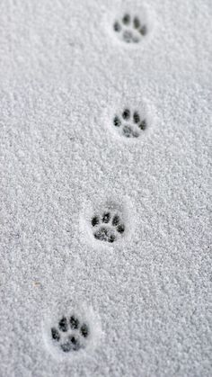 Little paw prints in the snow. - - Little paw prints in the snow. Little paw prints in the snow.
