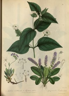 1839 - Illustrations of the botany and other branches of the natural history of the Himalayan Mountains :and of the flora of Cashmere - by J. Forbes Royle.