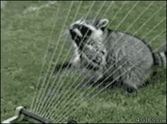 the amazing raccoon that plays the harp