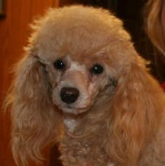 Love toy poodles
