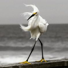"keroiam: """" On the Cat Walk. Photography by @ (D. This Snowy Egret is walking on the rail of a pier over the Atlantic Ocean in Florida "" "" Pretty Birds, Love Birds, Beautiful Birds, Animals Beautiful, Animals And Pets, Funny Animals, Cute Animals, Funny Birds, Tier Fotos"