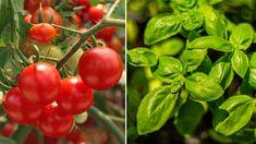 Skippa kemiska bekämpningsmedel och satsa istället på samplantering för att helt ekologiskt hålla krypen borta. Dessutom får det trädgården att blomstra!