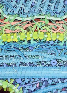Axon. Sodium-Potassium pumps. Potassium channels. Connexins, Actin, Microtubules, Glycoproteins, Meylin.