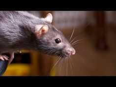 How to Keep a Rat Happy & Healthy   Pet Rats - YouTube