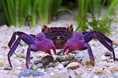 Vampire purple crab