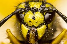 """Wasp Jaws"" by cjmelm on flickr.  Harry Potter Hufflepuff House Aesthetic"