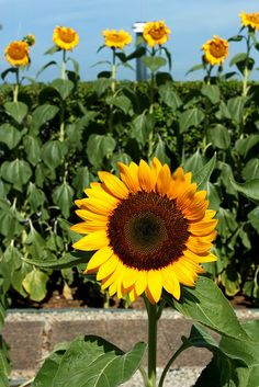 Mikayla, my joyful, sunny daughter... Like this sunflower.  She has undeniable beauty and makes others happy.  She shines brightly... Making other flowers pale by comparison.