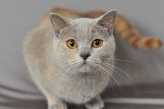 Here a long list types of amazing Beautiful cat breeds in the world. #catbreeds #cat