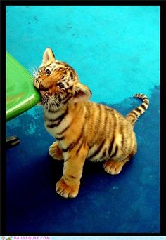 Baby tiger. <---- Gimme