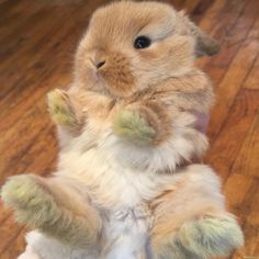 """5,787 mentions J'aime, 28 commentaires - new jersey holland lops (@bunnyrabbitry) sur Instagram : """""""""""