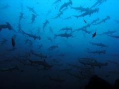 Cocos Island, Costa Rica: Hammerheads!