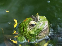 Hot Frog On Frog Action