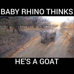 Baby Rhino Thinks He's a Goat! 😍 - Inspire Uplift - Baby Rhino Thinks He's a Goat! 😍 Baby Rhino Thinks He's a Goat! Cute Funny Animals, Cute Baby Animals, Animals And Pets, Small Animals, Cute Animal Videos, Funny Animal Pictures, Funny Animal Gifs, Cute Baby Videos, Baby Rhino
