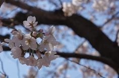 "染井吉野 ""cherry blossom"""