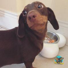 Whatchya having for dinner Penny?  #yumyum #dinnertime #dogs #ollieandpenny