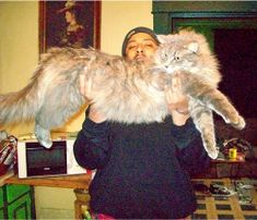 did i mention that Maine Coon Cats can also get massive?! http://www.mainecoonguide.com/what-is-the-average-maine-coon-lifespan/