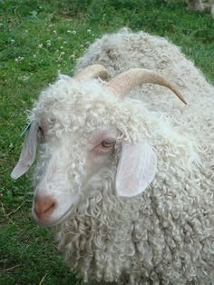 """Long before I had a chance to become acquainted with animals other than cats and dogs, I fell in love with Isaac Bashevis Singer's story of """"Zlateh the Goat"""" (Zlateh Goat & Other Stories). In the story the beloved goat…Read more →"""