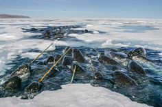 They were so tightly packed in this small ice hole that I could have literally walked across their backs as this pod of narwhals was fighting for a chance to breath during their intense feeding session on polar cod.  Of course, this is just an expression and would not have been very wise or fair to the narwhal.  Follow me on @sea_legacy  #unicorn #narwhal #whale #nature #gratitude  #wildlife #arctic #smile #love #beauty #friends #instagramhub #snow #ice #animals