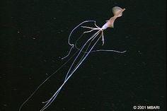 elbow squid - Google Search