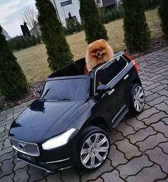 Is Your Pomeranian Driving You Crazy? One Unusual Trick STOPS Your Pomeranian Jumping Up! - pomeranian #pomeranian #dog #doglovers #dogs #dogsofinstagram