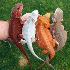 """""""Colorful bearded dragons"""" Me: bearded dragon colors red, white, orange and sand Cute Creatures, Beautiful Creatures, Animals Beautiful, Cute Baby Animals, Animals And Pets, Funny Animals, Funny Pets, Zoo Animals, Wild Animals"""