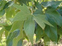 Platanus racemosa (California Sycamore)
