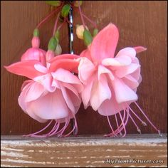Pink Fuchsia on a fence just taking a rest