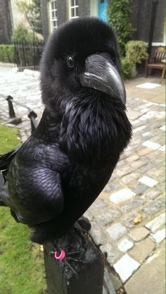 A Tower of London raven who looks suspiciously like Simon Cowell. It's the &… Ein Tower of London-Rabe, der Simon Cowell misstrauisch ähnelt. Pretty Birds, Beautiful Birds, Animals Beautiful, All Birds, Love Birds, Mundo Animal, My Animal, Animals And Pets, Cute Animals