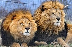 I just love the manes on lions. So majestic.