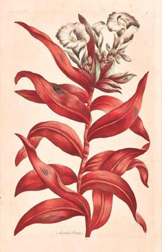 Scarlet Costus. Illustration taken from 'Exotic Botany' by John Hill. Published London, 1759. Printed at the expense of the author. New York Botanical Garden, LuEsther T. Mertz Library.