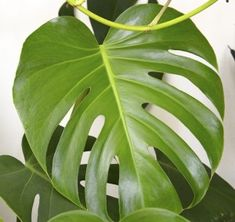 The Best Low Light Plants for Indoors - Philodendron
