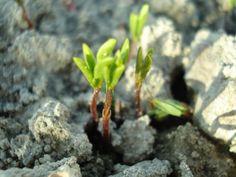 Lentejas como abono verde. Ventajas: económicas y de secano. (abril 2013)